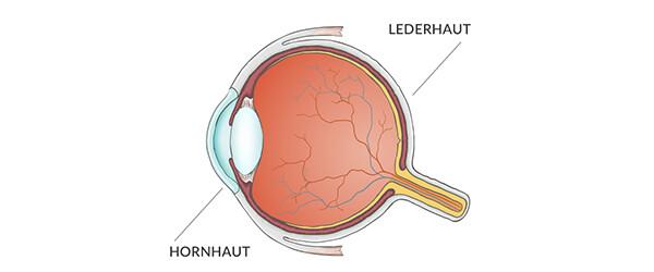 Lederhautentzündung: Schematische Abbildung des Auges mit Lederhaut und Hornhaut.