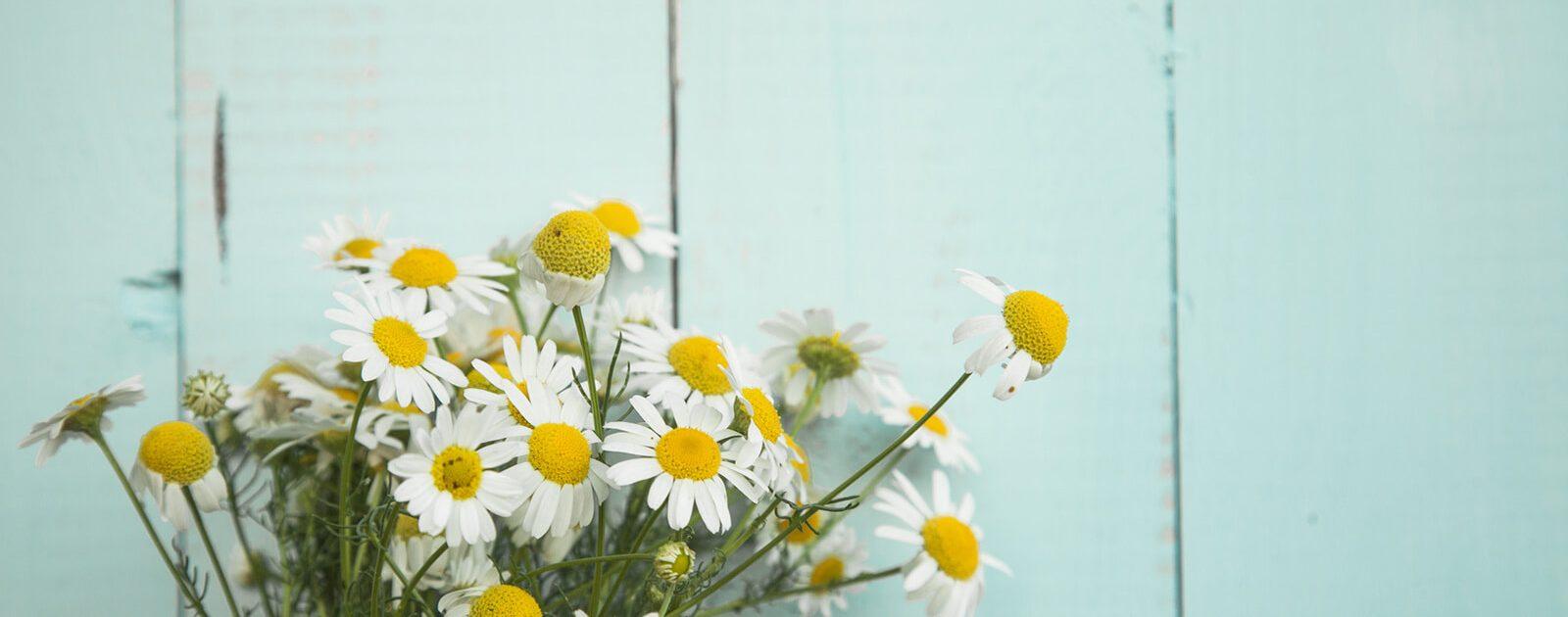 Ein Augenbad mit Kamillen-Blüten wirkt beruhigend auf durch Zugluft gereizte Augen.